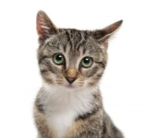 Close up Image of Kitten on a White Background