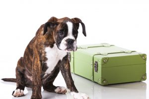 Boxer dog ready to travel with his luggage pet passport